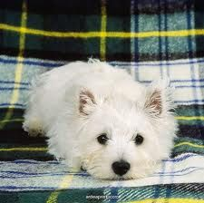 west highland terrier :)