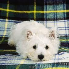 west highland terrier :)