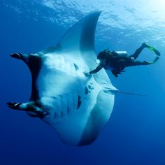 A diver swims in the shadow of a 16-feet wide manta ray. Diver and professional photographer Franco Banfi snapped this in the water off the coast of the Socorro and San Benedicto Islands in the Pacific OceanPicture