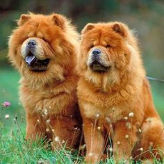 Chow Chow. My family had a Chow, Kae-See, when I was younger. What a sweetie boy!!!! I want another!