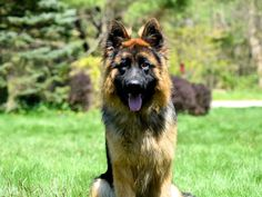 Bern, black and tan German Shepherd