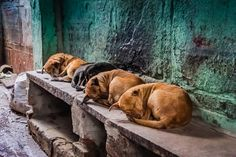 Captured these cuties catching some zzzz's on the streets of Varanasi, India. I loved the color contrast between the dogs and the wall. What do you think?