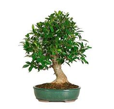 The Chinese have hand-wired every tree to create the trunks' beautiful swirl. The small dark green leaves make the Golden Ficus perfectly suited for bonsai. In the ficus family, this variety is the best for growing indoors. Ficus Bonsai Tree, Bonsai Trees For Sale, Indoor Bonsai Tree, Indoor Trees, Indoor Plants, Mame Bonsai, Bonsai Plants, Ficus Microcarpa, Miniature Trees