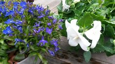The white Platycodon (balloon plant) is great this year. I love the blue white combination