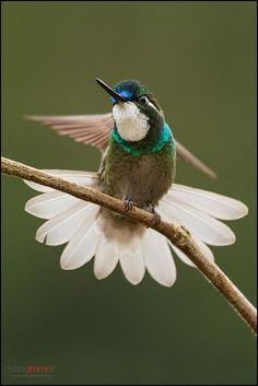White-throated Mountain-gem, Costa Rica
