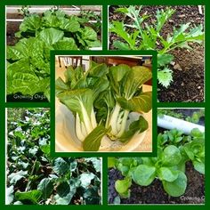 Growing Organic : Spring Greens for the Garden