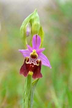 https://flic.kr/p/zhzHbS | Ophrys apulica