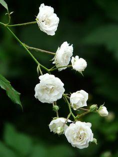A pure white shrub rose.