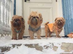 #Brusselgriffon  #dog  #cute
