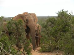 Safari in Aldo Elephant Park in South Africa. Elephant Park, Cape Town, Aldo, South Africa, Safari, Garden, Travel, Animals, Garten