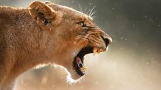 Roaring lioness Wallpaper #