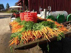carrot harvest at spring ledge farm