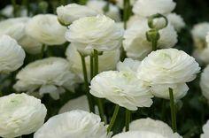 Buy ranunculus bulbs Ranunculus 'Aviv White': Delivery by Crocus