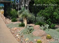 ***silver ponyfoot***Mid-century house inspires Palm Springs-style garden in Austin | Digging