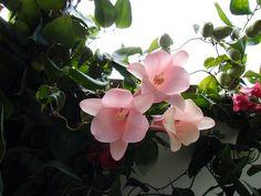 Mostrando Mis copihues 2006-02-04 Rock Garden Plants, Garden Types, Beautiful Butterflies, Love Flowers, Platycerium, Different Types Of Flowers, Beautiful Gardens, Flower Arrangements, Succulents