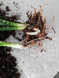 Learn how to propagate snake plants, including how to propagate snake plant cuttings in water and how to propagate snake plants in soil. Propagate Succulents From Leaves, Succulent Soil, Growing Succulents, Planting Flowers, Growing Plants, Peperomia Plant, Pothos Plant, Plant Cuttings, Large Plants