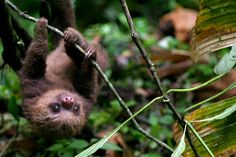 Monteverde, Costa Rica, This is up in the mountains but not as many people go there. It is called the could forest becuase it's in the clouds of course. A differnt view of Costa Rica. Cute Baby Sloths, Cute Sloth, Cute Baby Animals, Animal Babies, Forest Sounds, Photo Animaliere, Monteverde, Costa Rica Travel, Cutest Thing Ever