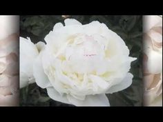 Red Kennicott shows off the Avalanche Peonies now available from Chile for bridal bouquets and event designs ! They are huge, gorgeous and distinct white col. White Peonies, Girls Bows, Peony, Event Design, Bouquet, Romantic, Bridal, Top, Wedding