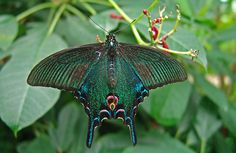 Chinese Peacock butterfly (Papilio bianor)