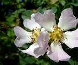 state flower: Wild Rose