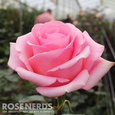 Wholesale Pink Roses symbolize grace and elegance with sweet romance. It is the perfect flower to express appreciation and admiration, as well as to express gratitude and sympathy. Pink blooms have st