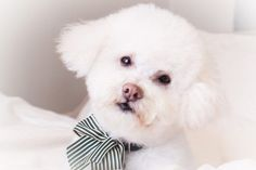 How to Remove Tear Stains on a Bichon Frise. Known for a gentle, playful disposition and a wealth of snow white fur, the Bichon Frise is a favorite am…