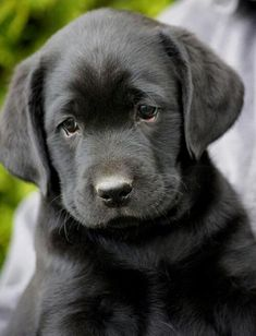 black labs ❤ it looks like my puppy when she was a baby