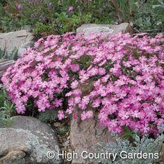 Phlox grayii  Arizona Pink Phlox