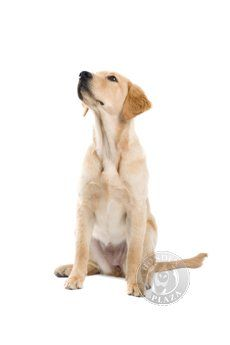 This is the kind of dog we are getting in few days - the Goldador! A perfect mix between the golden retriever and Labrador retriever. Cute Dogs And Puppies, All Dogs, Best Dogs, Doggies, Labrador Retrievers, Dog Training Books, Puppy Sitting, Animal Antics, Guide Dog