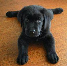 Adorable or what?! #labradorretriever #goldenretriever