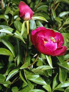 Dividing mature Peonies how to