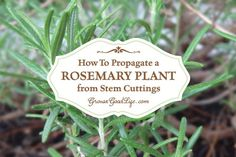 Learn how to take rosemary cuttings and grow a new rosemary plant in a pot that can be moved outside in summer and indoors in winter.