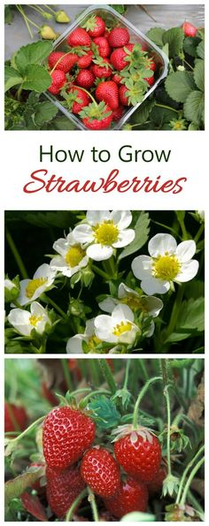 There is nothing like the taste of home grown strawberries. See tips for growing them on The Gardening Cook.