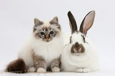 Pets: Tabby-point Birman cat and brown-and-white rabbit photo