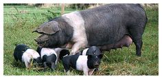 Saddleback Sow and Piglets