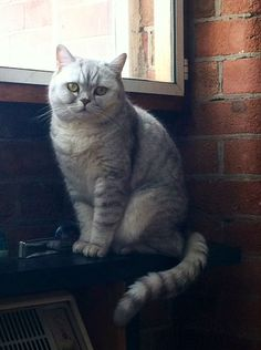 Misty the British Shorthair cat from London