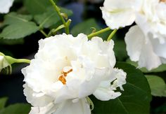 ルブラン花の様子