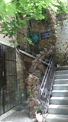 Old fig tree - Zefat, Israel  My Fig Tree is Prettier !!!