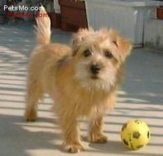 Norfolk Terrier- because every pack needs at least one little lap dog.