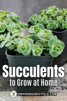 You can grow mini and small succulents in a tiny indoor garden, a terrarium or in a pot on your desk. Learn more about these popular mini succulents and how to grow them yourself. Grow succulents… More