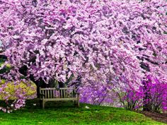 Wooden Bench under Cherry Blossom Tree in Winterthur Gardens, Wilmington, Delaware, Usa