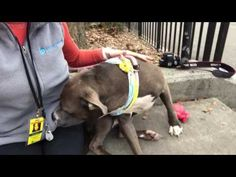 """SAFE❤️❤️ 4/19/17 ❤️❤️ 4/4/17 GOOSE IS SO SWEET AND WONDERFUL, LOOK AT HER EYES, BEGGING US TO SAVE AND LOVE HER! LISTED TO DIE TODAY DUE RISK """"SICK""""! PLEASE GET HER OUT OF THERE! /IJ Manhattan Center My name is GOOSE. My Animal ID # is A1107391. I am a female gray and white am pit bull ter mix. The shelter thinks I am about 2 YEARS old. I came in the shelter as a STRAY on 03/29/2017 from NY 10452, owner surrender reason stated was STRAY."""