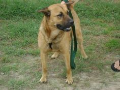 Meet krystal, a Petfinder adoptable Shepherd Dog | Raeford, NC | To learn more about Friends for Life at The Haven, please visit the Haven's Petfinder WebsiteIf you...