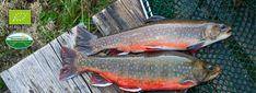 Declevas's Alpenfisch Mariazell: Bio-Forellen und Saiblinge kaufen. Food, Fish Farming, Alps, Pisces, Salt, Essen, Meals, Yemek, Eten