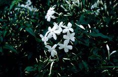 many-flowered jasmine