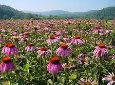 Echinacea has a mild antibiotic effect, and is used in a wide array of bacterial infections, internally and externally.  It has been used in the treatment of tonsillitis, bronchitis, sinusitis, hay fever, UTIs, yeast infections, athlete's foot, ear infections, in venomous situations such as a snake bite, and is also known to have pain-reliever and anti-inflammatory properties. Read more on our blog!