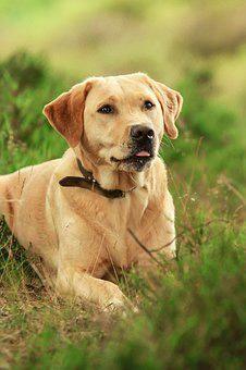 Labrador Hair Loss Looking For Labradorearmites Labradorrescuesoutheastandcentral Labradordognames Labrador Labrador Dog Labrador Retriever