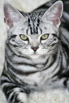 This is my male silver tabby American Shorthair named Tofu, TSElliott via… Pretty Cats, Beautiful Cats, Cute Cats, Gorgeous Gorgeous, Pretty Kitty, Crazy Cat Lady, Crazy Cats, Silver Tabby Cat, American Shorthair Cat