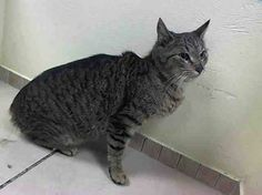 TO BE DESTROYED 3/24/14 CALLING ALL ANGELS!! NATALIE HAS BEEN GIVEN A RARE SECOND CHANCE !!! ***YOUNG TABBY GIRL NATALIE NEEDS YOU ASAP!! Brooklyn Center  My name is NATALIE. My Animal ID # is A0993631. I am a female brn tabby domestic sh mix. The shelter thinks I am about 4 YEARS old.  I came in the shelter as a STRAY on 03/10/2014 from NY 11432 https://www.facebook.com/PetsOnDeathRow/photos/a.576546742357162.1073741827.155925874419253/768226859855815/?type=1&relevant_count=1