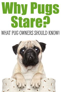 Why Does My Pug Stare? Why does my Pug stare at me? Pugs love their owners and they want to please them, find out why they stare at you and are they really… Baby Pugs, Baby Puppies, Puggle Puppies, Cute Pug Puppies, Cute Pugs, Cute Funny Animals, Pug Facts, Facts About Pugs, Pug Information